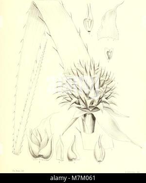 Bromeliaceae andreanae - description et histoire des broméliacées récoltées dans la Colombie, l'Ecuador et le Venezuela (1889) (20392960756) Stock Photo