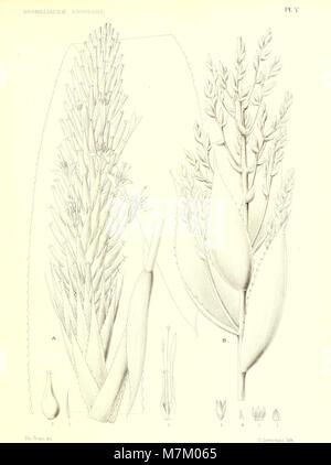 Bromeliaceae andreanae - description et histoire des broméliacées récoltées dans la Colombie, l'Ecuador et le Venezuela (1889) (20419182415) Stock Photo