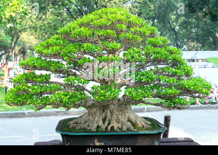 Green bonsai tree in a pot or tray plant in the shape of the stem is shaped artisans create beautiful art in nature - Stock Photo