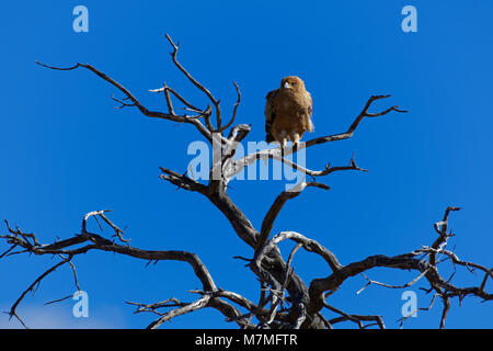 Tawny eagle (Aquila rapax) sitting on the top of a tree, against a blue sky, Kgalagadi Transfrontier Park, Northern - Stock Photo