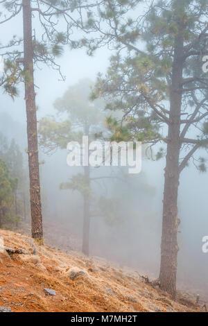 Misty fog in pine forest on mountain slopes, Tenerife, Spain - Stock Photo