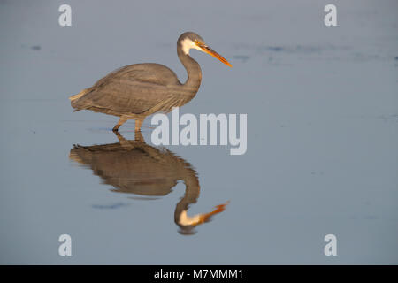 An adult dark morph Western Reef Heron or Western Reef Egret (Egretta gularis) hunting in a still pool with a great - Stock Photo
