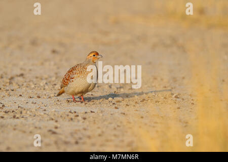 A wild adult Grey Francolin (Francolinus pondicerianus, of the race interpositus) on dry ground at Tal Chhapar Sanctuary - Stock Photo