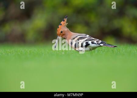 An adult Eurasian Hoopoe (Upupa epopos) feeding on a garden lawn in Rajasthan, India - Stock Photo