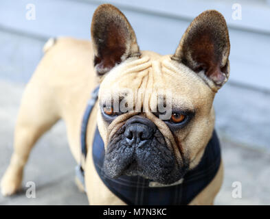 French Bulldog Adult Male Fawn in a street in San Francisco. - Stock Photo