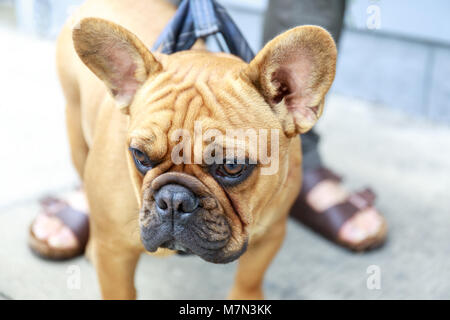 French Bulldog Puppy Male Brown in a street in San Francisco. - Stock Photo