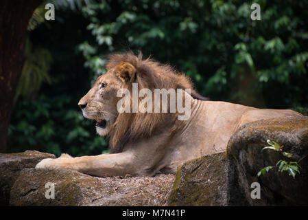Lion king is relaxing on the stones outdoors. Formidable predator is lies on the ground in a warm day on the nature - Stock Photo