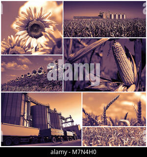 Collage of photographs showing agricultural crops in cultivated agricultural field ready to be harvested and stored - Stock Photo