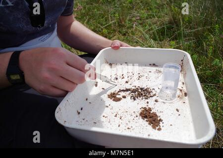 Ecology Student Collecting Primary Entomology Field Data, White Sample tray. Dawlish Warren, Devon, UK. July, 2017. - Stock Photo