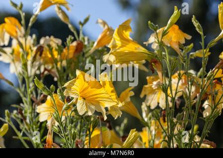 Velvet Trumpet Flower, Trumpetblomma (Salpiglossis sinuata) - Stock Photo