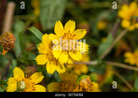 Niger Seed, Nigerfrö (Guizotia abyssinica) - Stock Photo