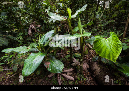 Beautiful vegetation on the forest floor in the cloudforest of Cerro Gaital, El Valle de Anton area, Cocle province, - Stock Photo