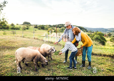 Senior couple with granddaughter feeding sheep on the farm. - Stock Photo