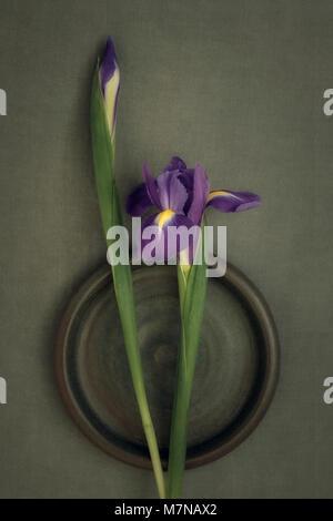 Purple Iris, flower still life - Stock Photo