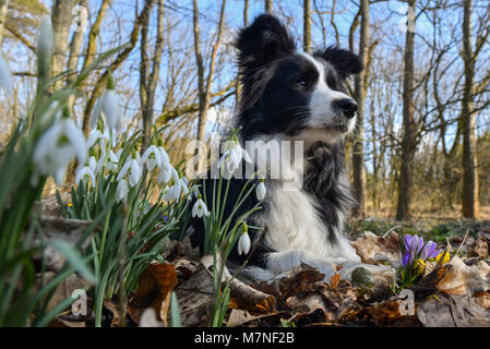 11 March 2018, Germany, Sieversdorf: A Border Collie lies in a forest between snowdrops and crocuses. With temperatures - Stock Photo