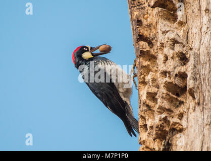 Acorn Woodpecker (Melanerpes formicivorus) on a granary tree against blue sky, with acorn in its beak - Stock Photo