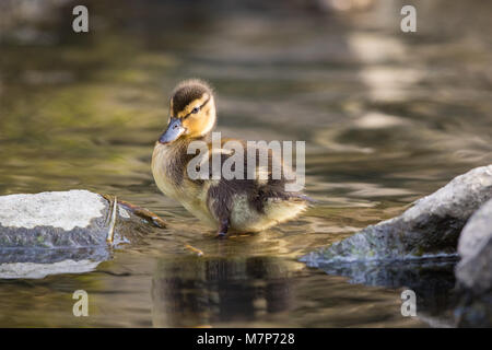 Detailed, landscape close up of wild mallard duckling (Anas platyrhynchos) standing in shallow waters of woodland - Stock Photo