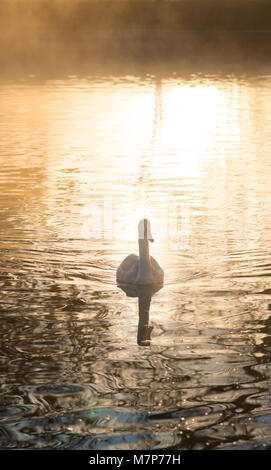 single isolated mute swan swimming in lake with warm early morning sunlight reflected on the water - Stock Photo