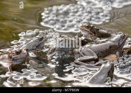 Commons Frogs mating in a garden pond producing frog spawn - Stock Photo