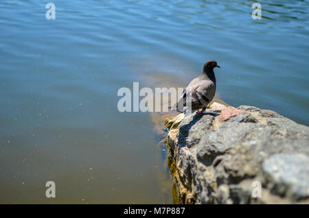 Pigeon standing on stone floor beside the river with blurred water background - Stock Photo