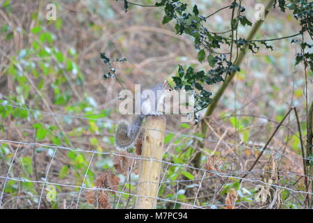 Grey squirrel Sciurus carolinensis sitting on wooden timber fence post in garden with shrubs dead foliage and holly - Stock Photo