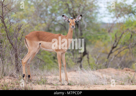 An alert female Impala, Aepyceros melampus, standing in lowveld looking at the camera in Kruger NP, South Africa - Stock Photo