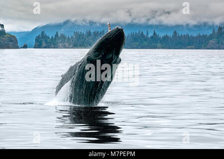 A big whale breaching in the Alaskan ocean near Seward with water splash in a grey cloudy day of summer - Stock Photo