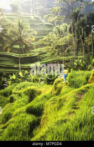 The beautiful rice terraces of Tegallalang at sunrise, Ubud in Bali - Stock Photo