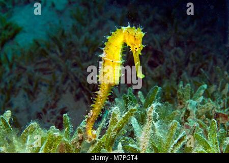 Thorny seahorse, Jayakar's seahorse (Hippocampus jayakari) holding on seagrass, threatened species, Hurghada, Egypt, - Stock Photo