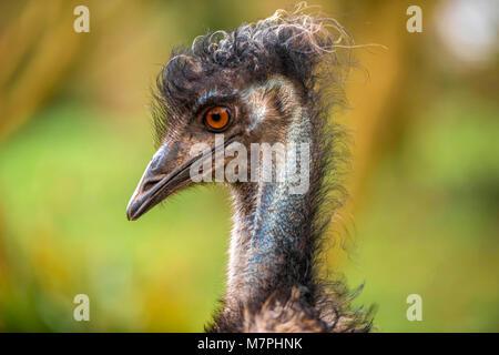 Australian Emu (Dromaius novaehollandiae) close-up portrait collection. - Stock Photo