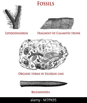 vintage illustration of fossils:  lepidodendron, calamites, organic forms in Silurian lime and belemnoidea - Stock Photo
