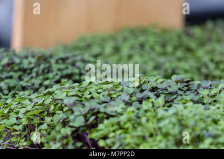 Seedling kale and cabbage mix at farmers market. - Stock Photo