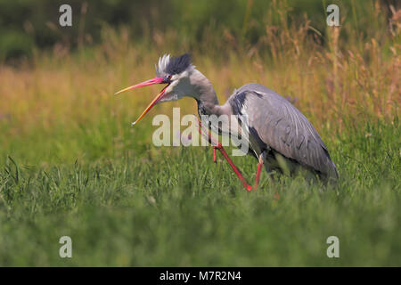 Grey heron in breeding colors - Stock Photo