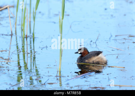 Little Grebe (Tachybaptus ruficollis) swimming in water, Wilderness National Park, South Africa - Stock Photo