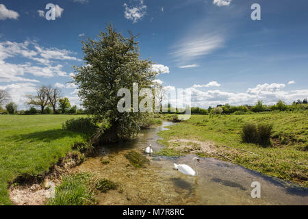 Pair of Swans swimming on the River Thames near its source at Kemble in Gloucestershire - Stock Photo