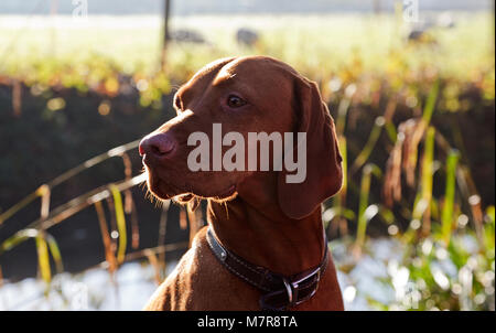 Portrait of a young Rhodesian Ridgeback dog in the sunshine - Stock Photo