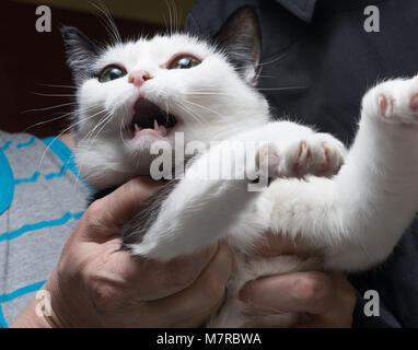 Frightened and angry cat in the hands of the mistress, who is trying to calm him - Stock Photo