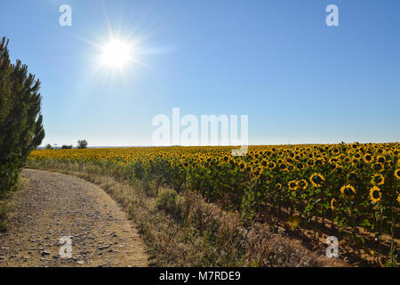 Sunflowers facing the sun - Stock Photo