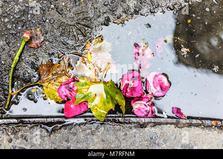 Closeup of vibrant pink red rose flower, leaves in water pool, puddle gutter on sidewalk street asphalt in urban - Stock Photo