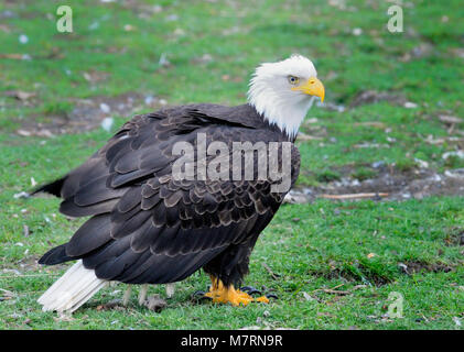 Mature bald eagle looking for fish scraps, Courtenay Vancouver Island, British Columbia, Canada. - Stock Photo