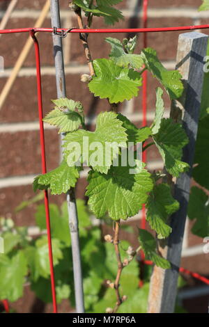 Close up of young grape vines - Stock Photo