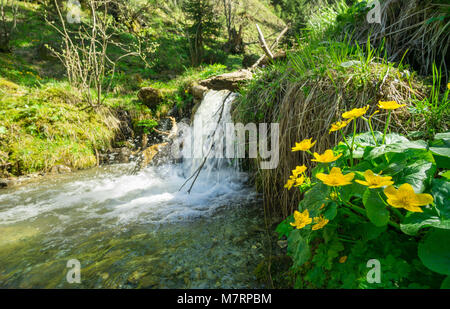 Marsh marigolds along a creek and a little waterfall. Alps, Bavaria, Germany in springtime. - Stock Photo