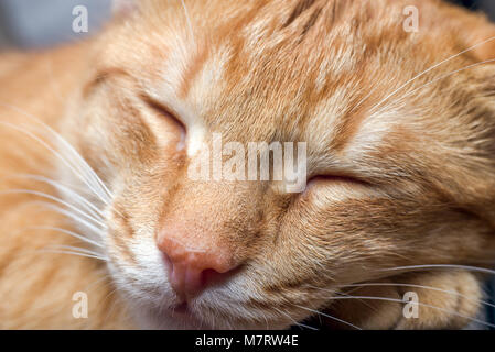 macro photo of a young red striped sleeping cat. - Stock Photo
