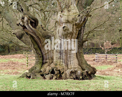 Large spreading ancient English Oak tree trunk in Bradgate Park, Leicestershire, UK - Stock Photo