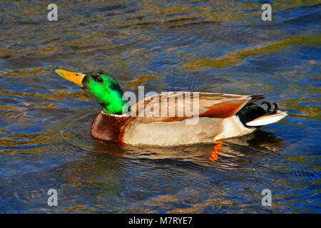 Male Mallard Duck swimming in the Kern River in Kernville at the headwaters of Lake Isabella in southern Sierra - Stock Photo
