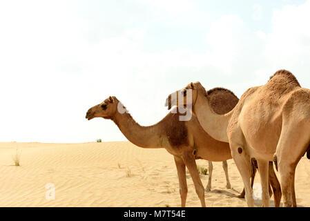 Camels in Arabian Sand Desert - Stock Photo