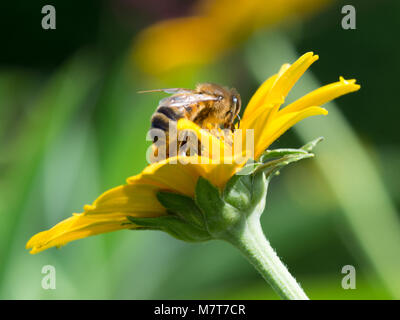 close up of honey bee collecting nectar from a yellow plant - Stock Photo
