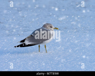 Common Gull Larus canus Calling on shoreline in snow storm - Stock Photo