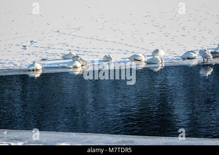 A group of whooper swans resting on the edge of the ice on a frozen lake. Klokkarvannet, Fana, Norway - Stock Photo