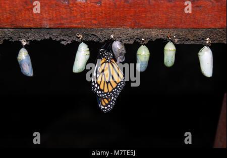 Monarch butterfly, Danaus plexippus, emerging from chrysalis, butterfly farm, La Paz waterfall gardens, Costa Rica - Stock Photo